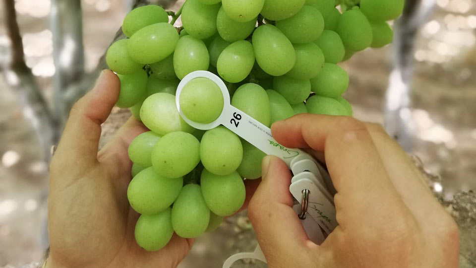 Princess seedless grapes (Melissa)